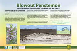 Thumbnail of Blowout Penstemon interpretive panel.