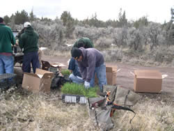 young men planting native basin wild rye on the Crooked River National Grassland.