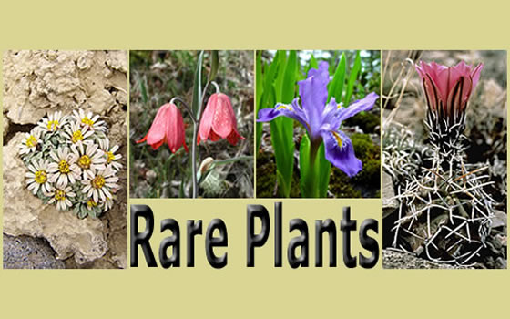 Four pictures of rare plants: Townsendia aprica, Fritillaria gentneri, Iris lacustris, and Echinocereus fendleri var. kuenzleri framing the text Rare Plants.