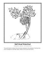 ball head waterleaf