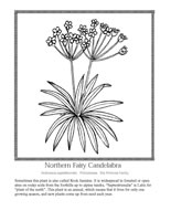 northern fairy candelabra