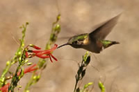 hummingbird flying up to flowers.