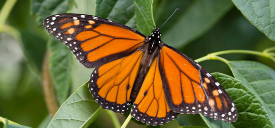Adult monarch butterfly. Courtesy Nebraska Game and Parks Commission.