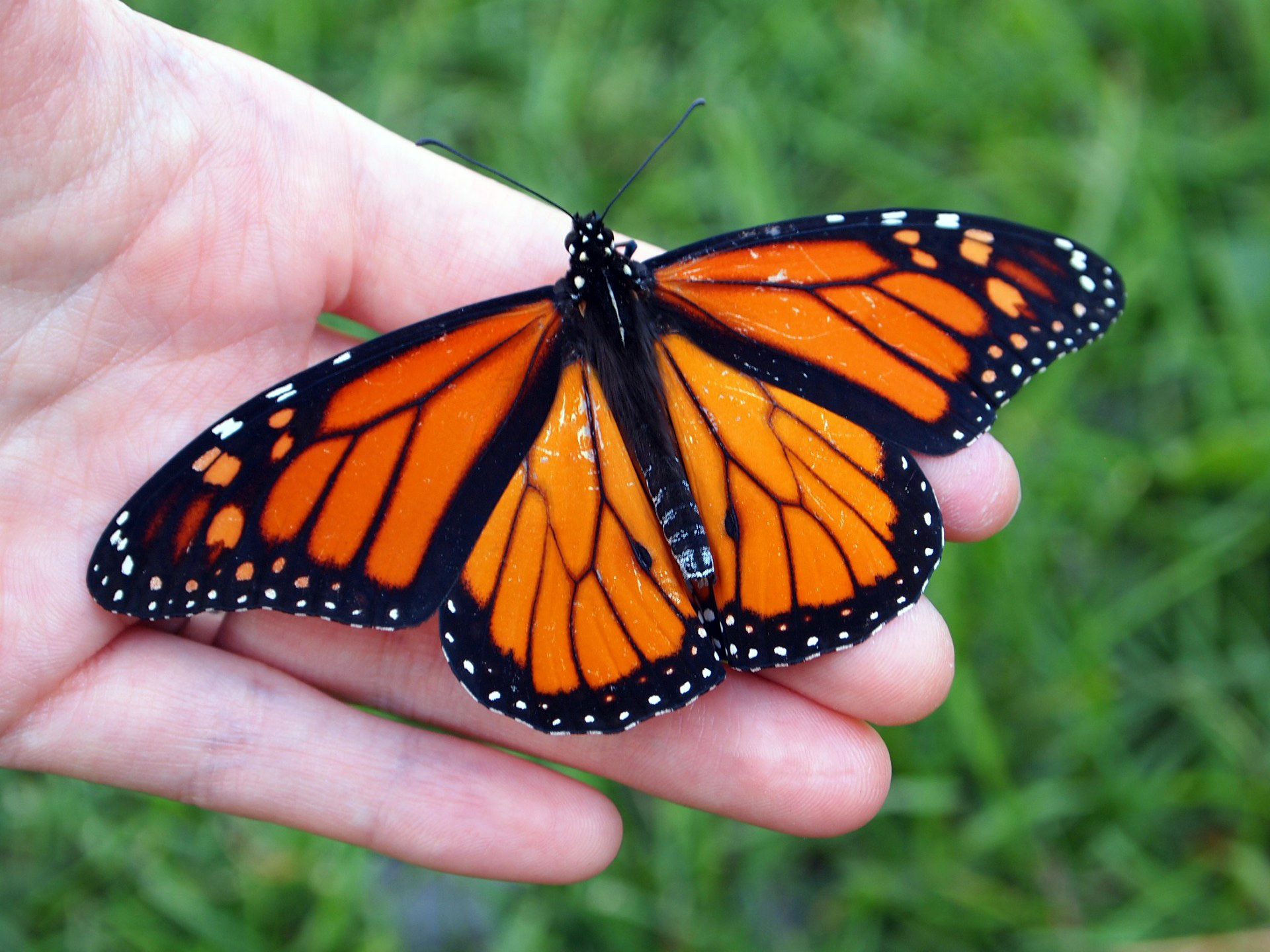 Photo of a monarch butterfly sitting on a person's hand