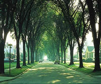 neighborhood street bordered and shaded by large mature American elm trees.