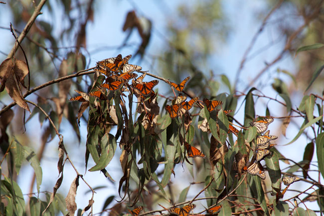 Monarchs Clustering on eucalyptus.