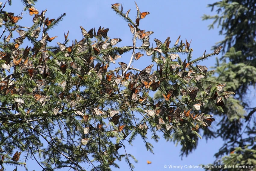 Monarch butterflies on conifer branches.