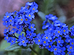 Alpine Forget-Me-Not (Myosotis asiatica).