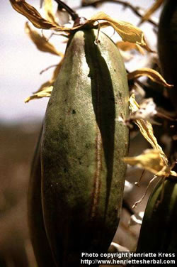 Yucca baccata fruit.