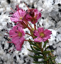 Close-up of Kalmia microphylla.