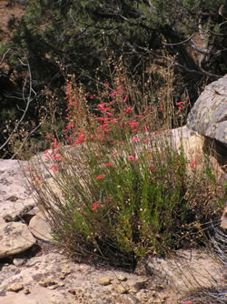 Penstemon rostriflorus in habitat.