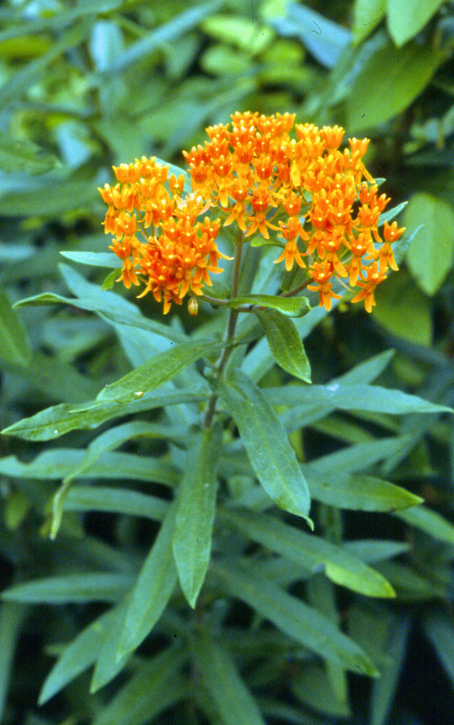 Red Butterfly Milkweed Asclepias Curassavica Red: Butterfly Milkweed
