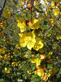 California flannelbush flowers.