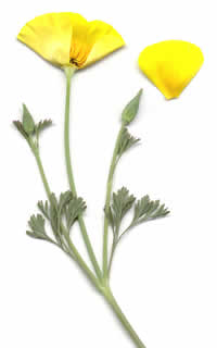 California poppy displayed on a white background. A petal is removed to show the inner parts of the flower.