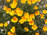 California Poppy, Eschscholzia californica.
