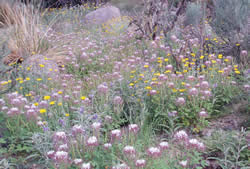 redwhisker clammyweed and desert marigold