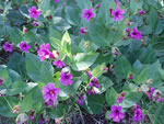 Colorado Four O'clock (Mirabilis multiflora).