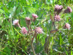 Sweet coltsfoot (Petasites sagitattus).