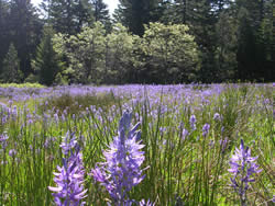 A field of common camas.