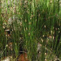 Eleocharis palustris.
