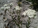 Common Yarrow (Achillea millefolium).