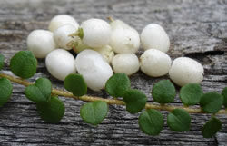 Pile of creeping snowberry fruits with a sample stem.