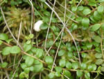 Creeping Snowberry (Gaultheria hispidula).
