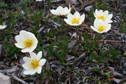 Mountain avens (Dryas octopetala).