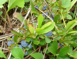 Dwarf bilberry (Vaccinium cespitosum, showing ripe fruit.