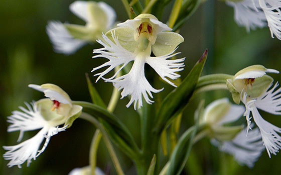 Eastern Prairie Fringed Orchid flowers.