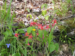 fire pink, Silene virginica, growing with other plants on a forest floor.