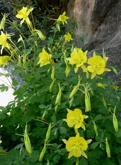 Golden columbine (Aquilegia chrysantha).