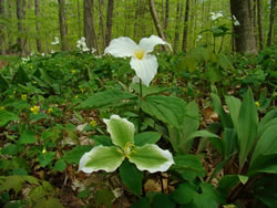 This great white trillium is infected with a mycoplasma that causes greening in the petals.