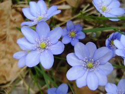 Hepatica nobilis flowers.