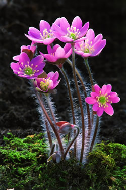 Pink flowering form of Hepatica nobilis var. obtusa.