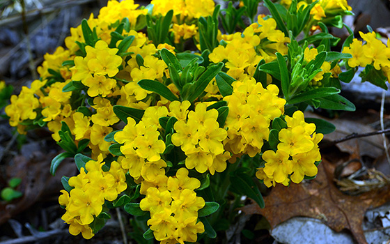 Hoary Puccoon flowers.