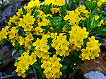Hoary Puccoon (Lithospermum canescens)