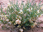 Hyattville Milkvetch (Astragalus jejunus var. articulatus) in flower and fruit from the northwest slope of Cedar Mountain, Big Horn County, Wyoming, by Charmaine Delmatier, 22 June 1993.