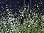 Indian Ricegrass, Achnatherum hymenoides.
