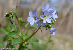 Jacob´s Ladder (Polemonium reptans)