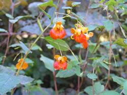 Impatiens capensis.