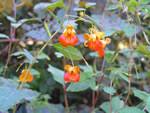 Jewelweed (Impatiens capensis).