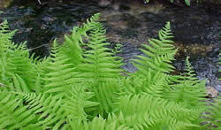 lady fern growing along a stream.