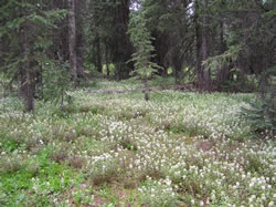 Leafy lousewort floweres in a subalpine meadow.