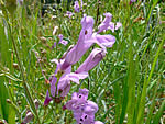 Littlecup Penstemon