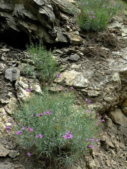 Penstemon sepalulus habitat on rocky outcrops near Mt. Nebo on the Uinta National Forest.