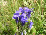 Meadow Fringed Gentian (Gentianopsis thermalis).