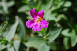 Lewis's monkeyflower.