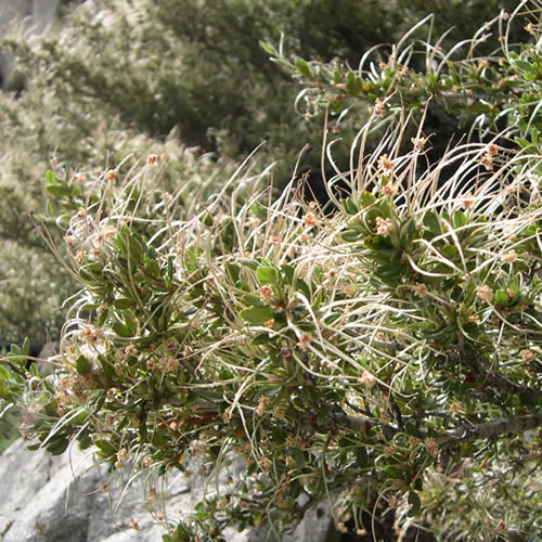 Mountain mahogany branches with tailed fruits.