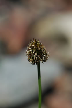 Close up of Carex varnacula flower.